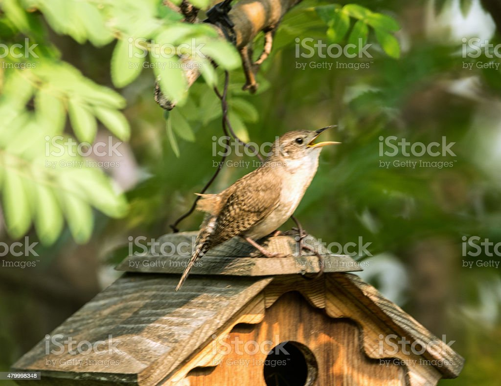 House Wren nesting in a bird box- singing stock photo