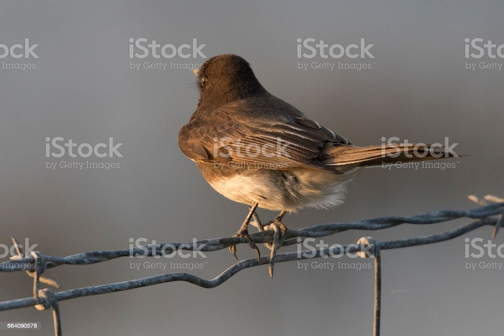 House wren on a barbed wire stock photo