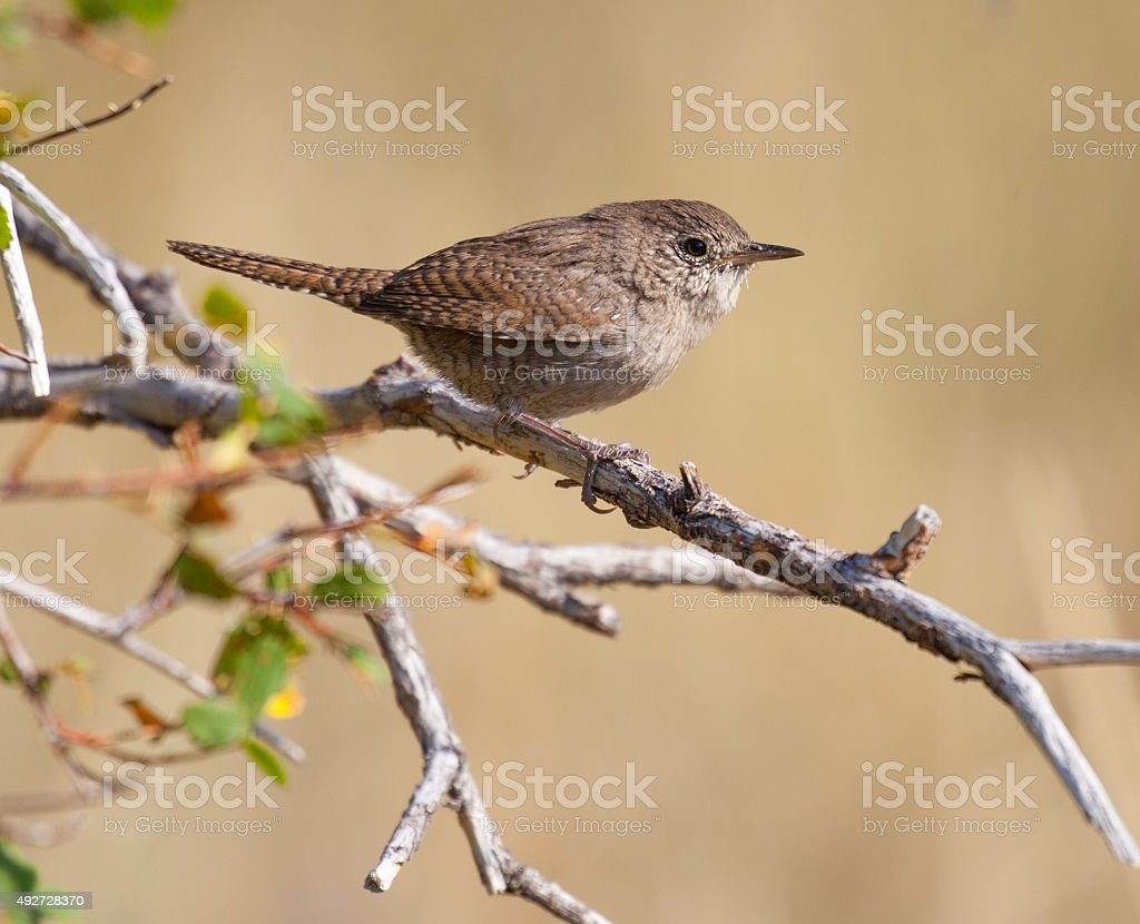 House Wren Perched on a Branch stock photo
