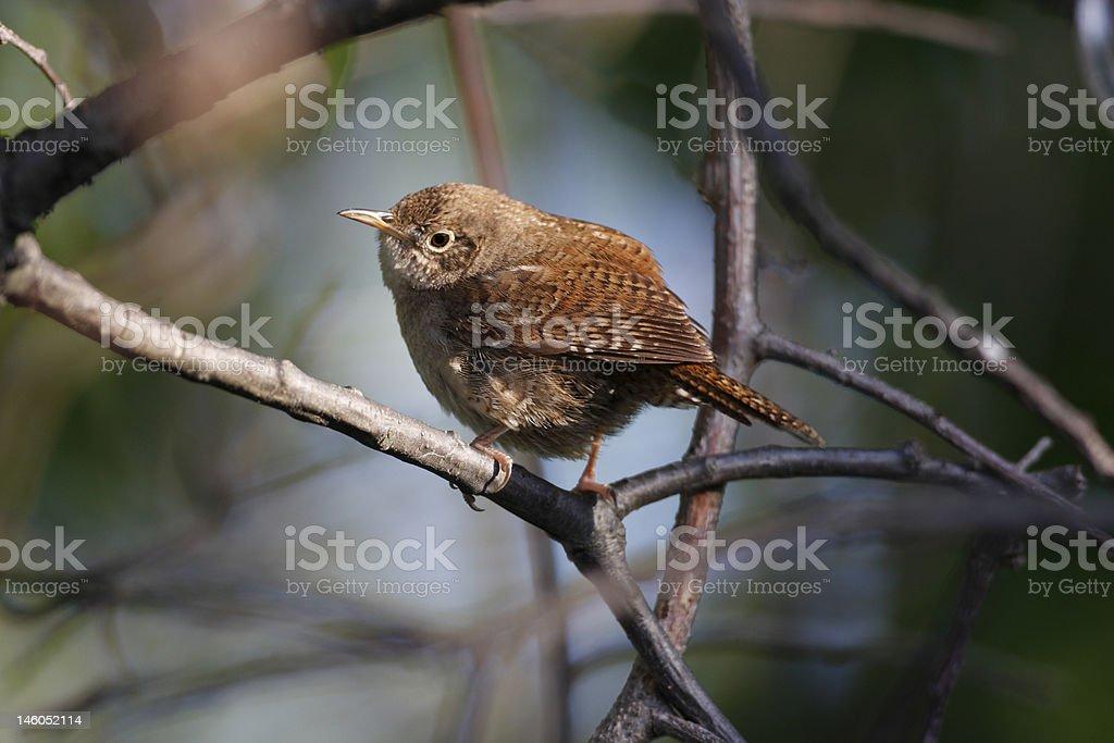House wren(troglodytes aedon) stock photo
