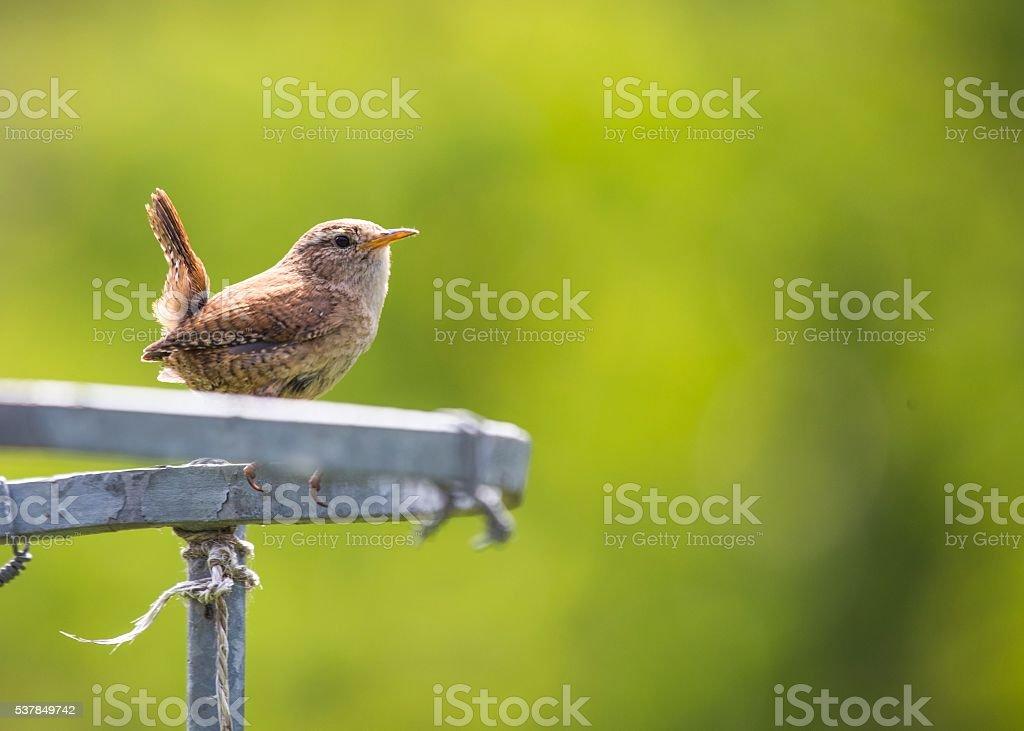 House Wren (Troglodytes aedon) stock photo