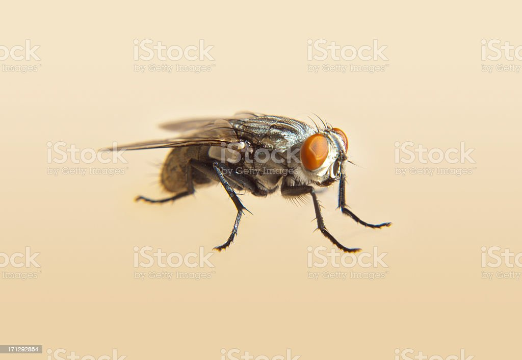 Housefly close up stock photo