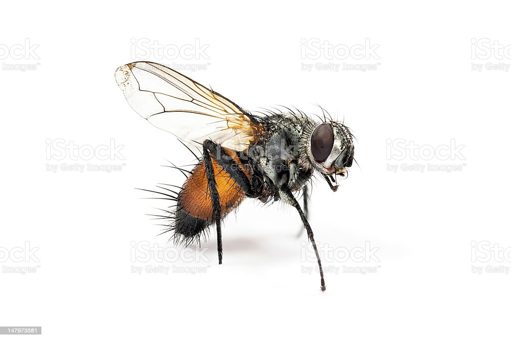 Housefly is a transmitter of disease. royalty-free stock photo