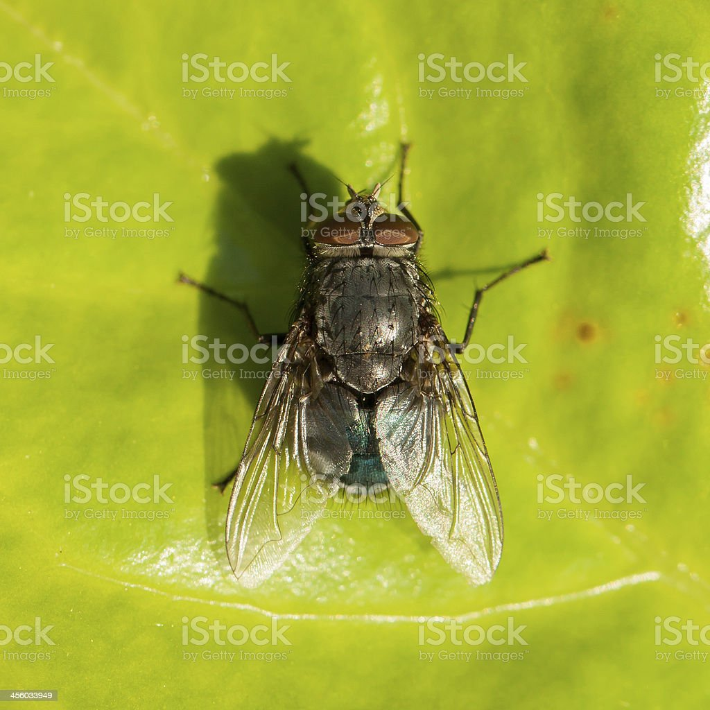 Housefly on a green leaf royalty-free stock photo