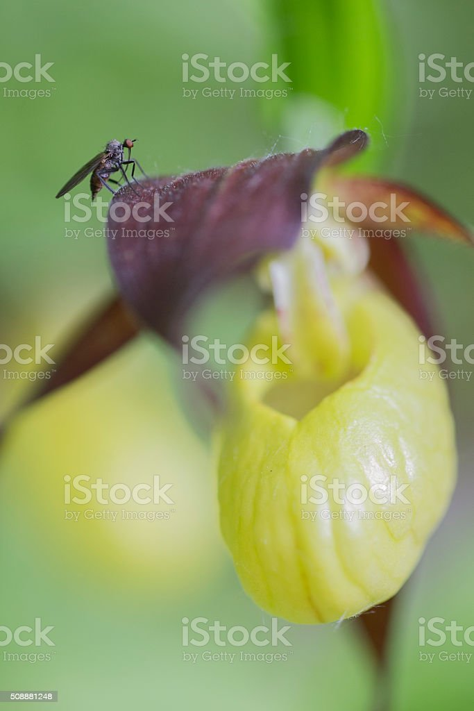 Housefly on a lady's slipper orchid stock photo