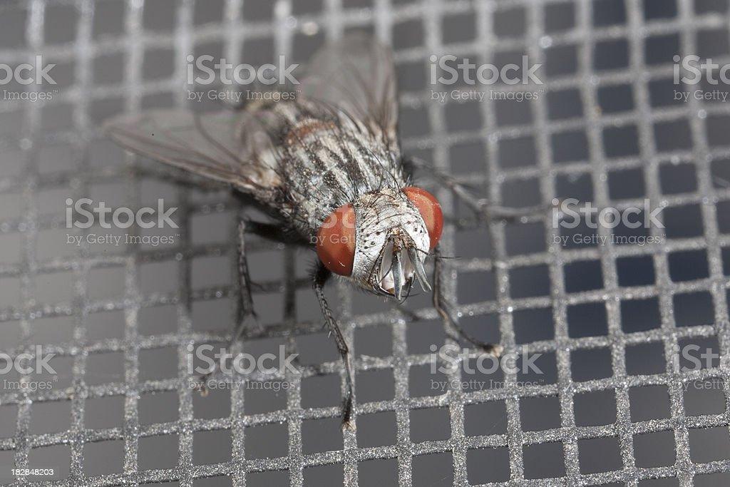 Housefly on window screen royalty-free stock photo