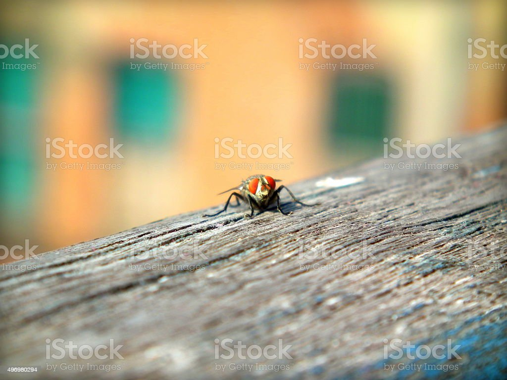 Housefly : Transmitter of disease stock photo