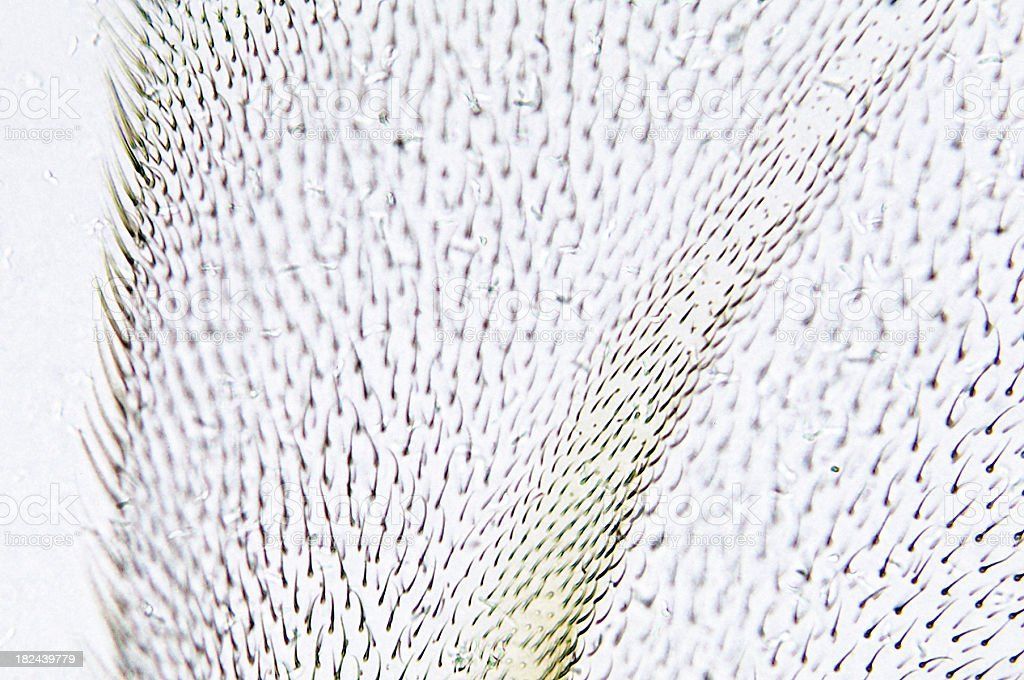 Housefly Wing WM royalty-free stock photo