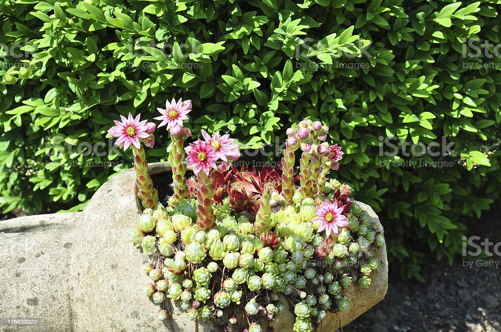 Houseleek flowers (Sempervivum) in flagon royalty-free stock photo