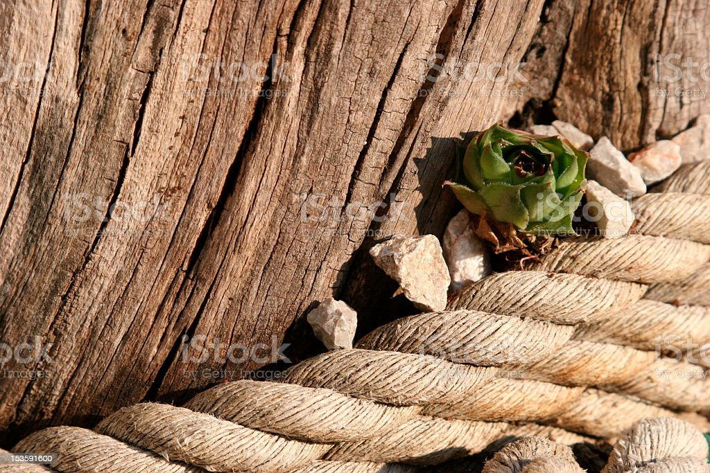 Houseleek on the ropes stock photo