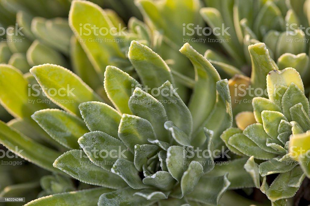House-leek (Sempervivum tectorum) royalty-free stock photo