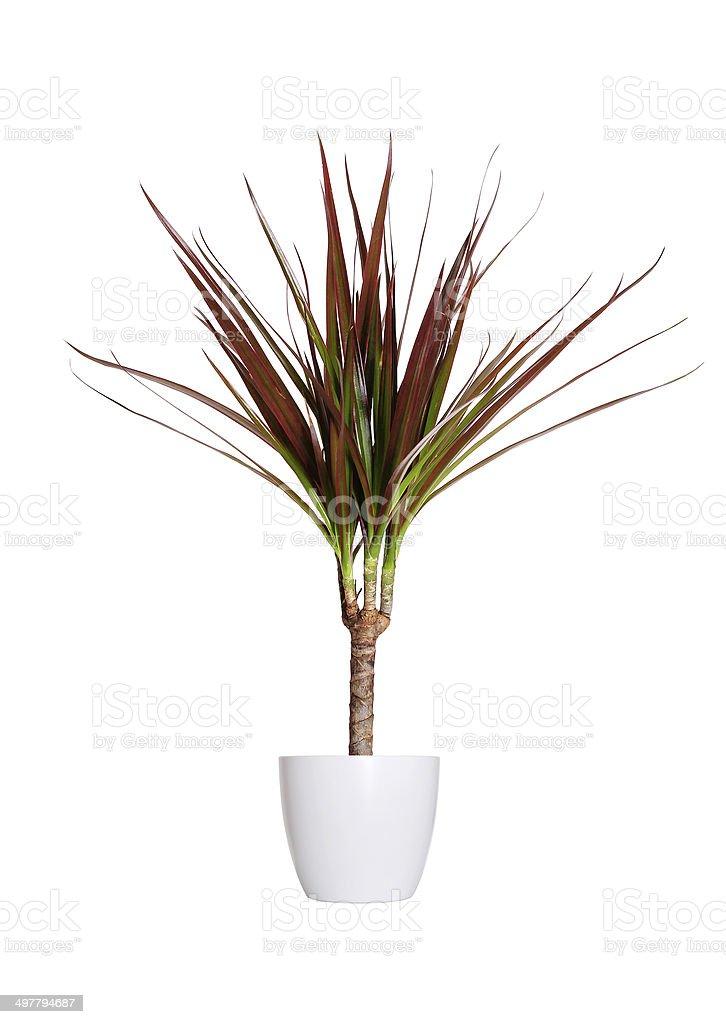 Houseplant - dracaena marginata a potted plant isolated over whi stock photo