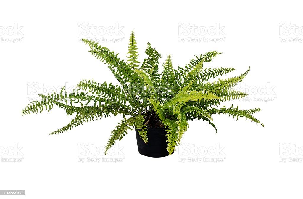 Houseplant fern stock photo