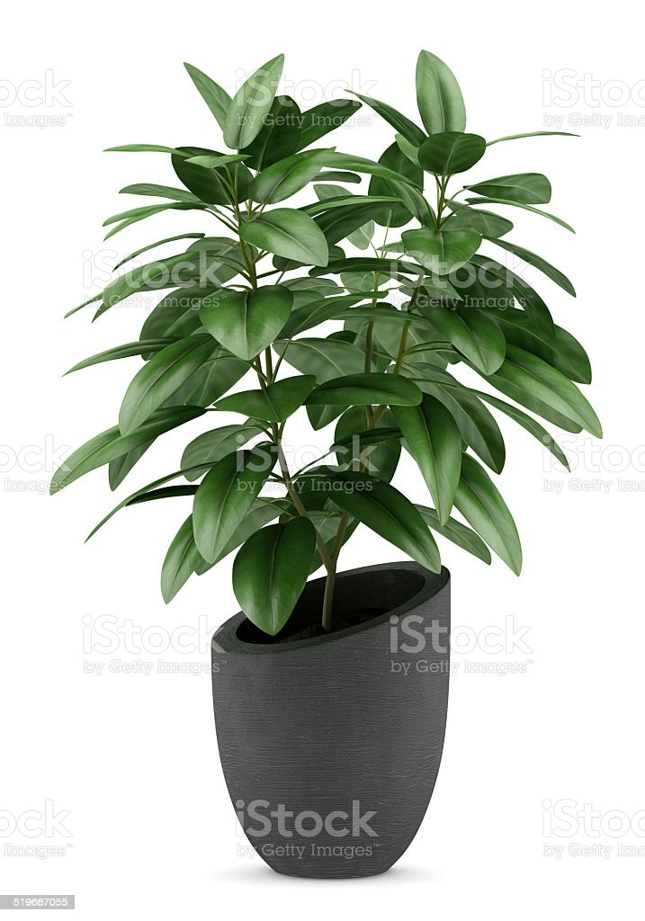 houseplant in black pot isolated on white background stock photo