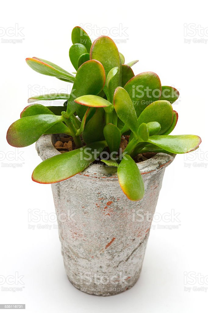 Houseplant - Jade Plant stock photo