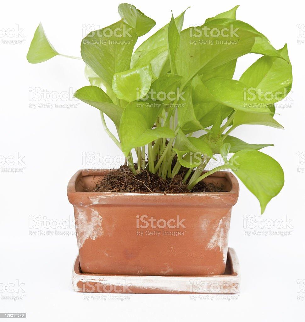 Houseplant on white background royalty-free stock photo