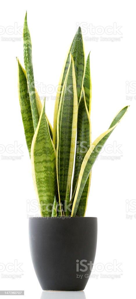Houseplant - Sansevieria royalty-free stock photo