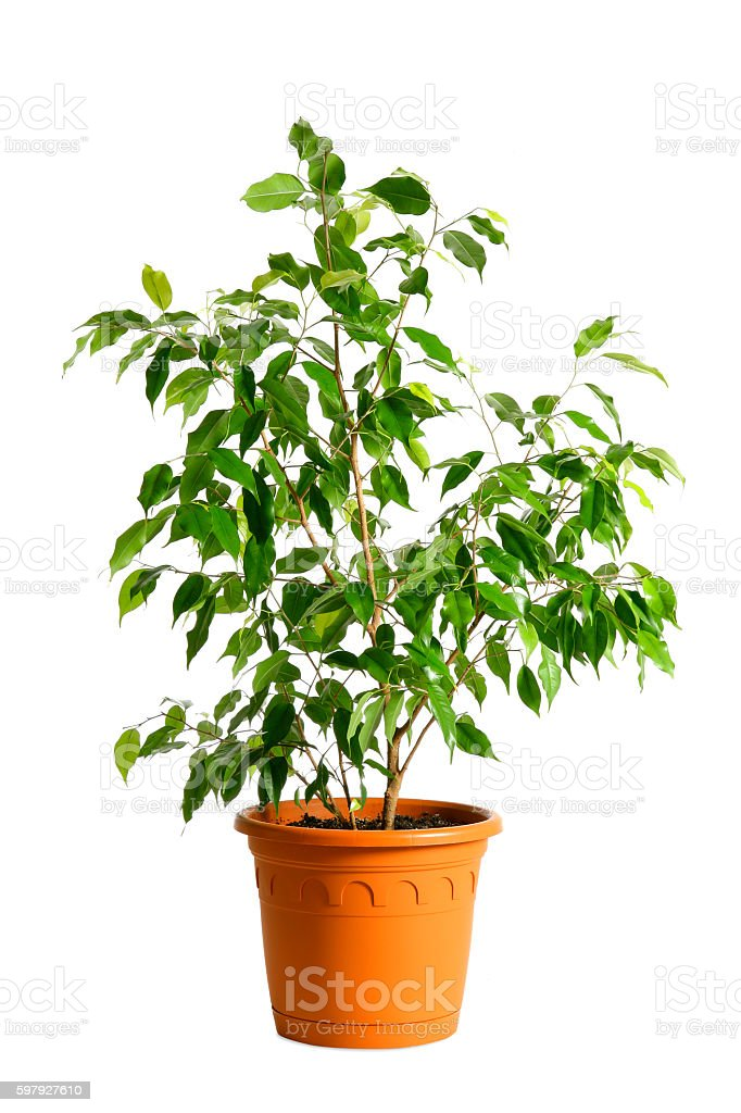 Houseplant tree (ficus benjamina) in a pot isolated on white stock photo