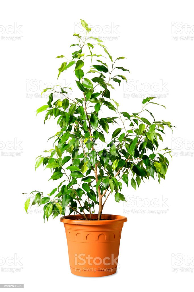 Houseplant tree (ficus benjamina) in a pot isolated on white stock photo