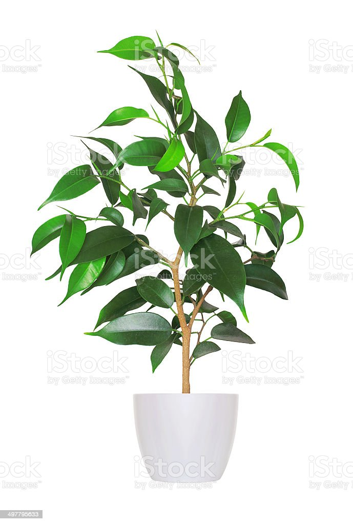 Houseplant - yang sprout of ficus a potted plant isolated stock photo