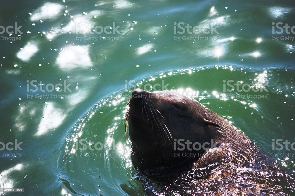 Hout Bay, Seal on Duiker Iceland near Cape Town stock photo
