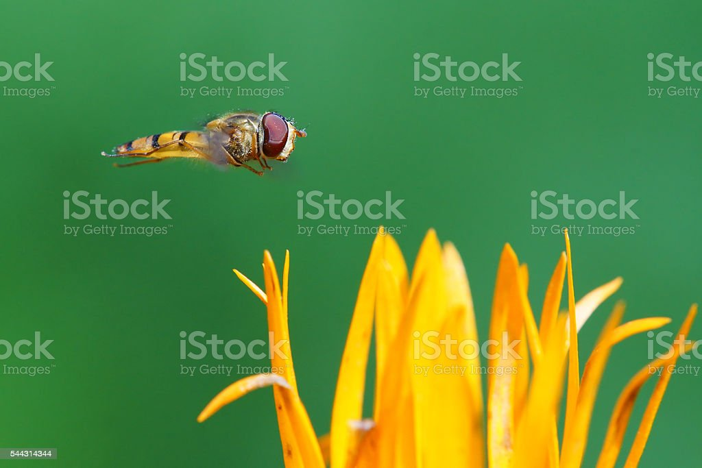 Hover fly at the fly stock photo