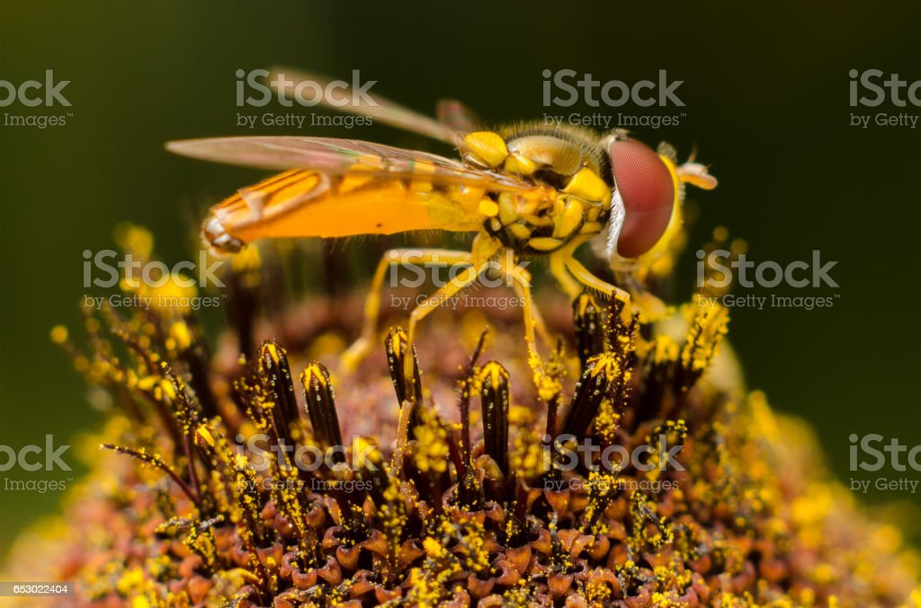 Hover Fly of Black-eyed Susan stock photo