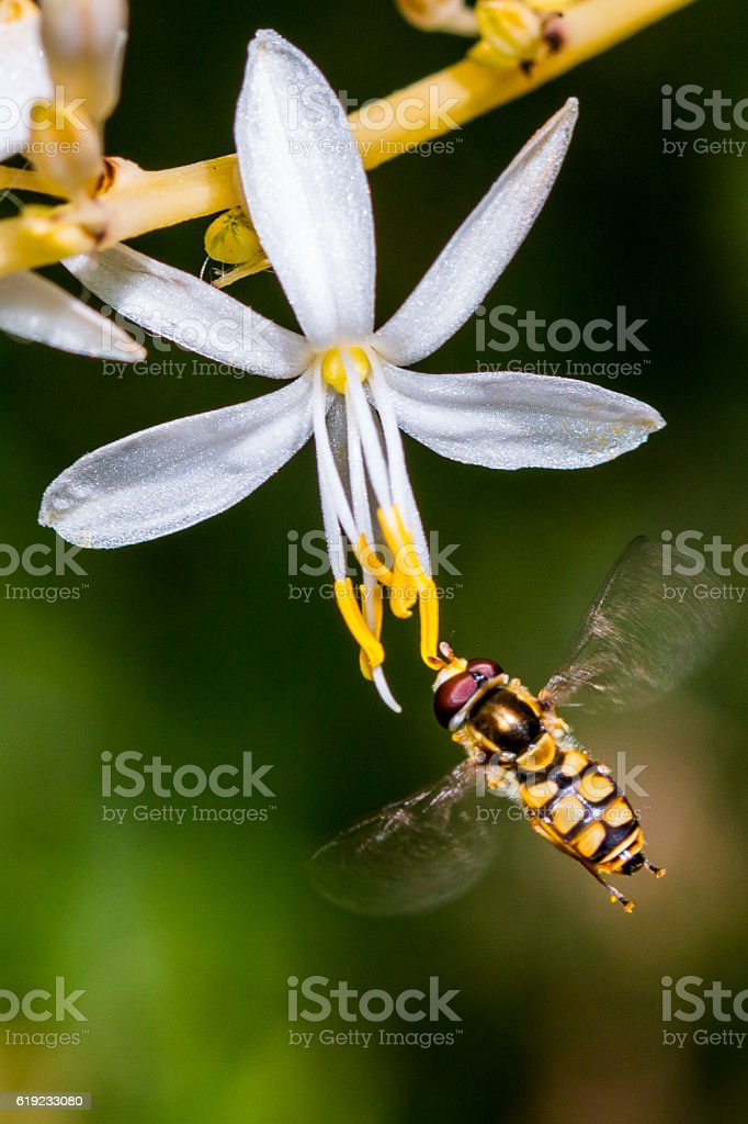 Hover Fly on a Flower stock photo