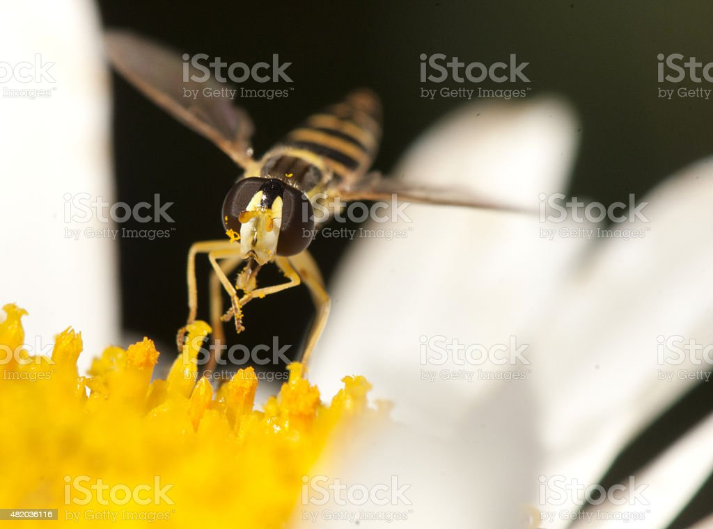 hover fly royalty-free stock photo