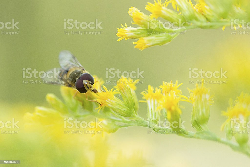 Hover Fly - Syrphid on Yellow Goldenrod Flowers in Garden stock photo
