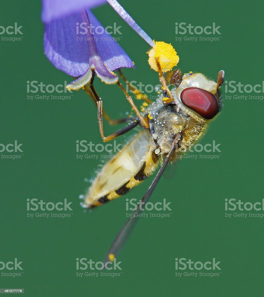 Hoverfly at the feed stock photo