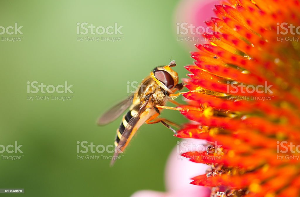 Hoverfly Closeup on a Echinacea Flower. stock photo