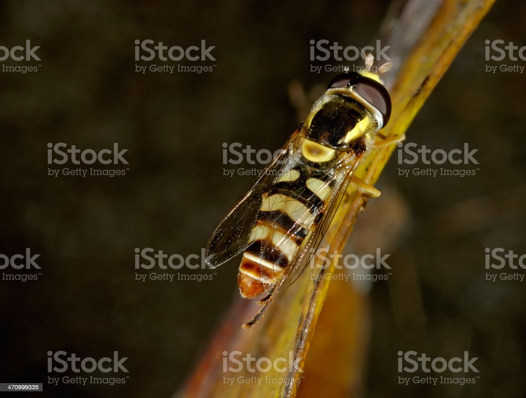 Hoverfly Close-Up royalty-free stock photo