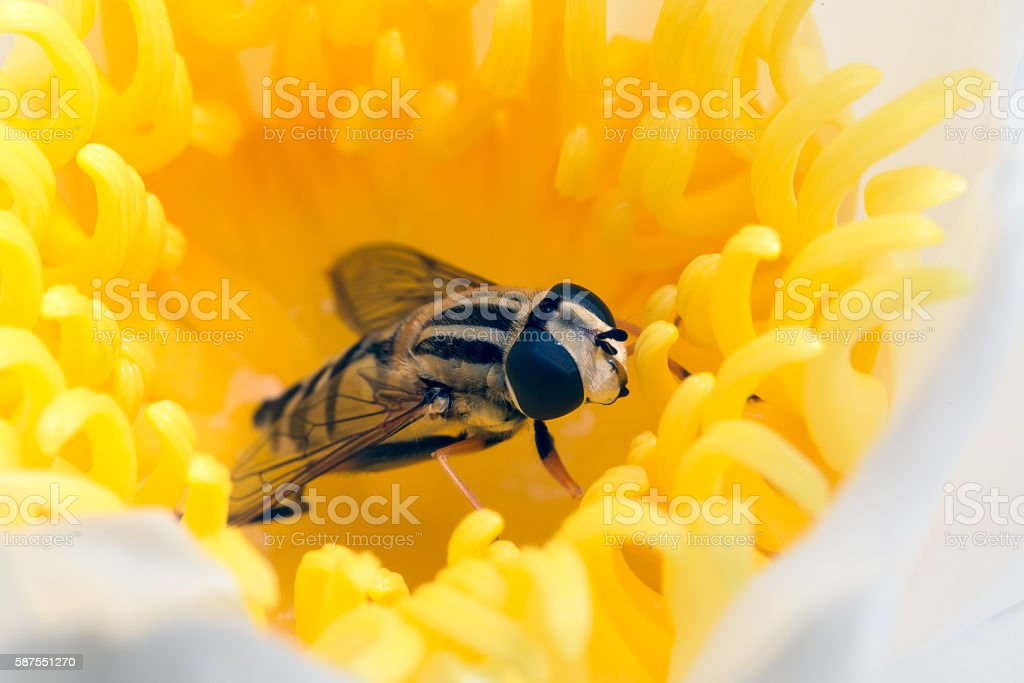 Hoverfly hidden in yellow flower waterlily stock photo