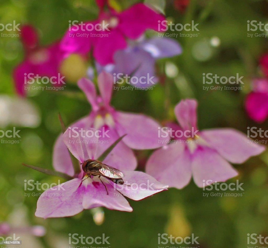 Hoverfly on a Lobelia flower. stock photo