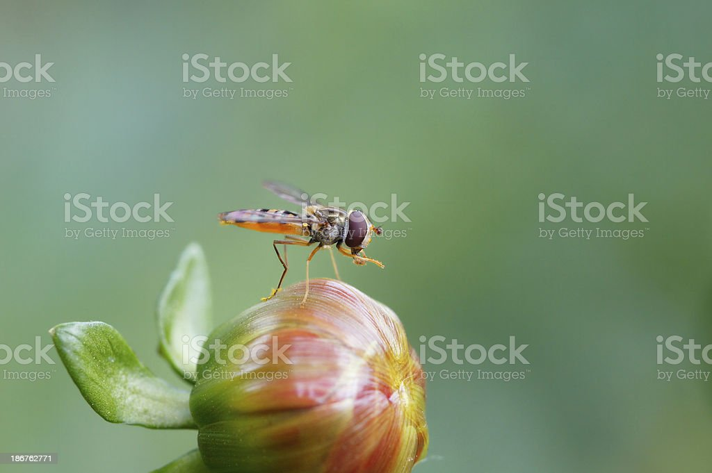 Hoverfly on dahlia royalty-free stock photo