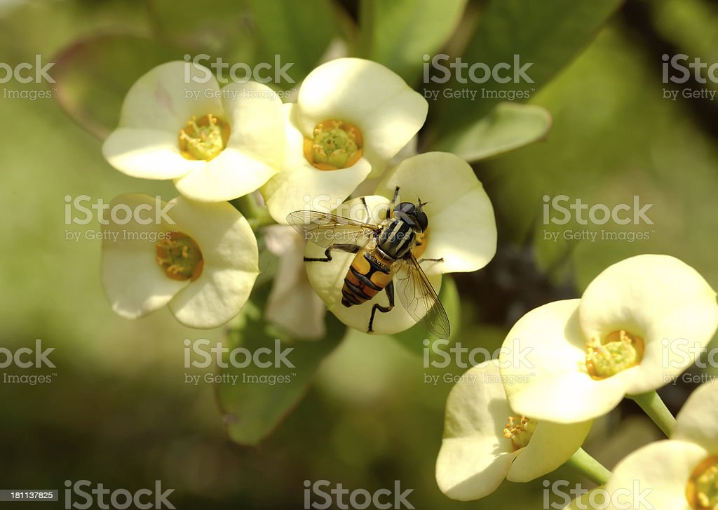 Hoverfly on Flower royalty-free stock photo