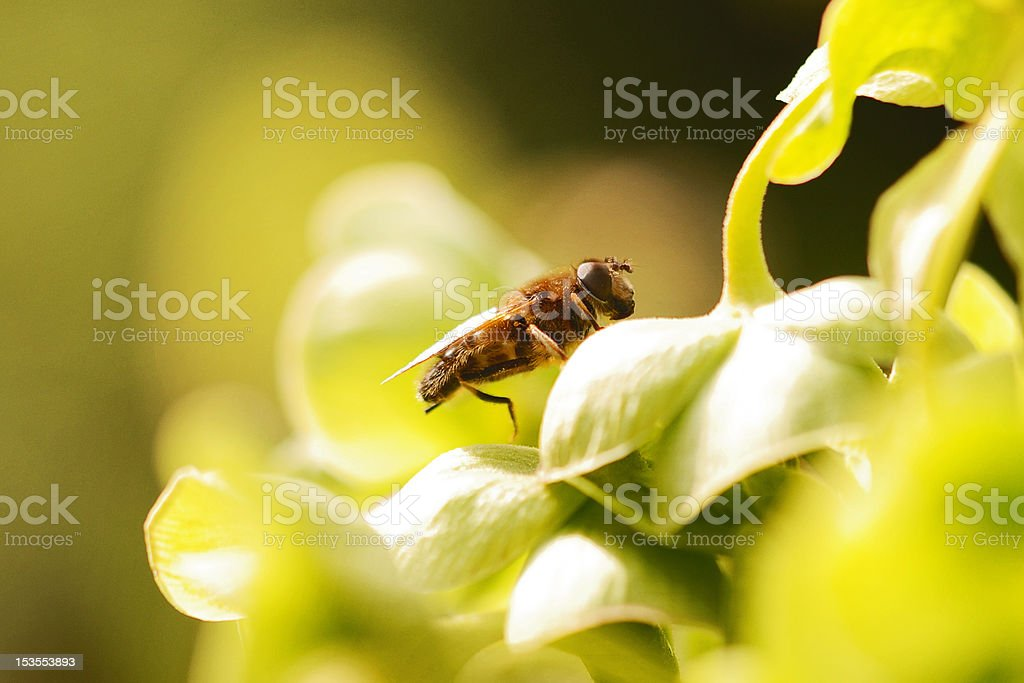 Hoverfly on plant royalty-free stock photo