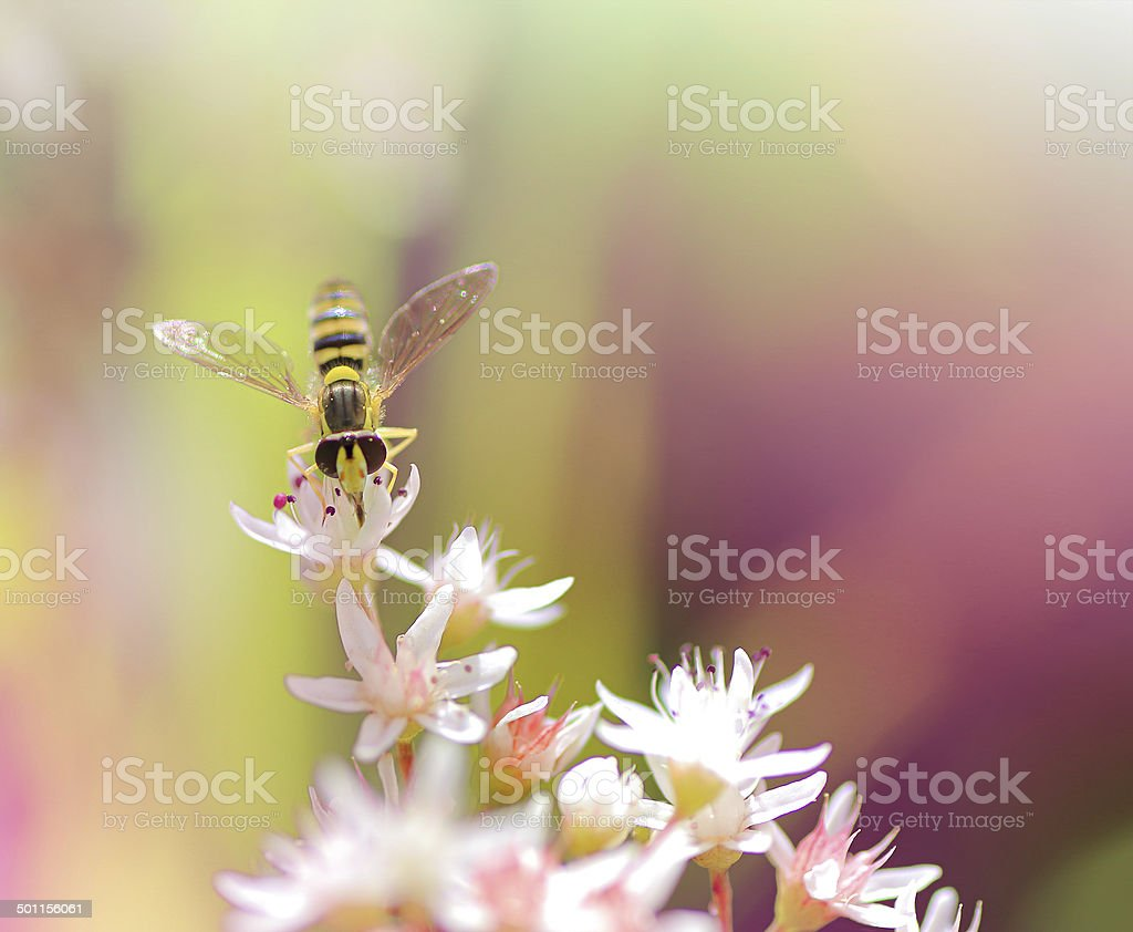 Hoverfly on Sedum Album flower stock photo