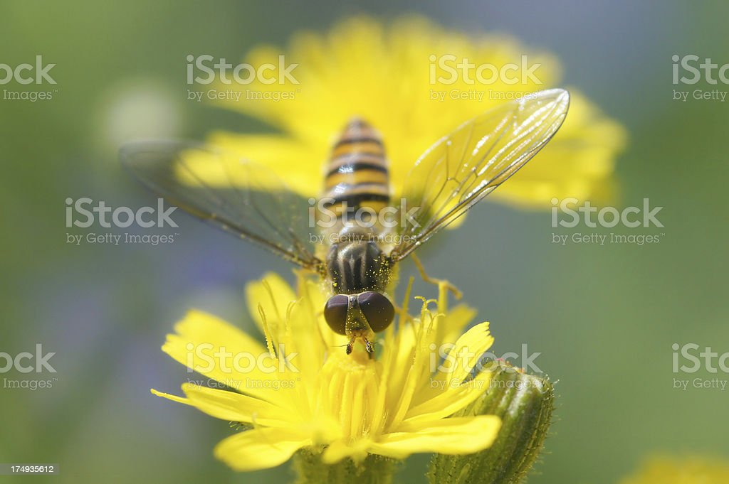 Hoverfly on Sonchus arvensis stock photo