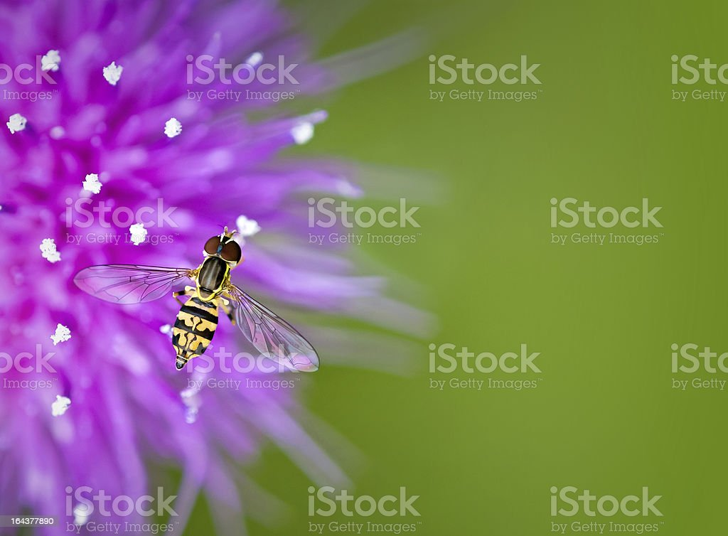 Hoverfly on thistle flower royalty-free stock photo
