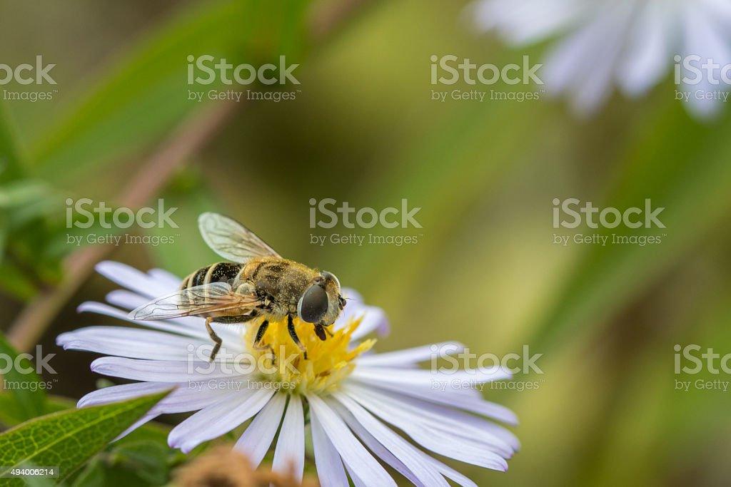 Sirfido en blanco flor foto de stock libre de derechos