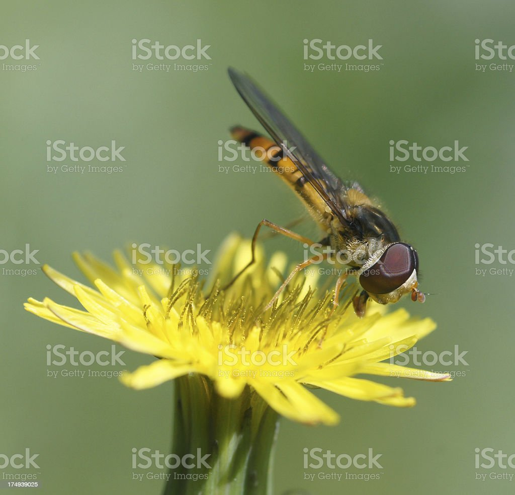 Hoverfly on wildflower stock photo