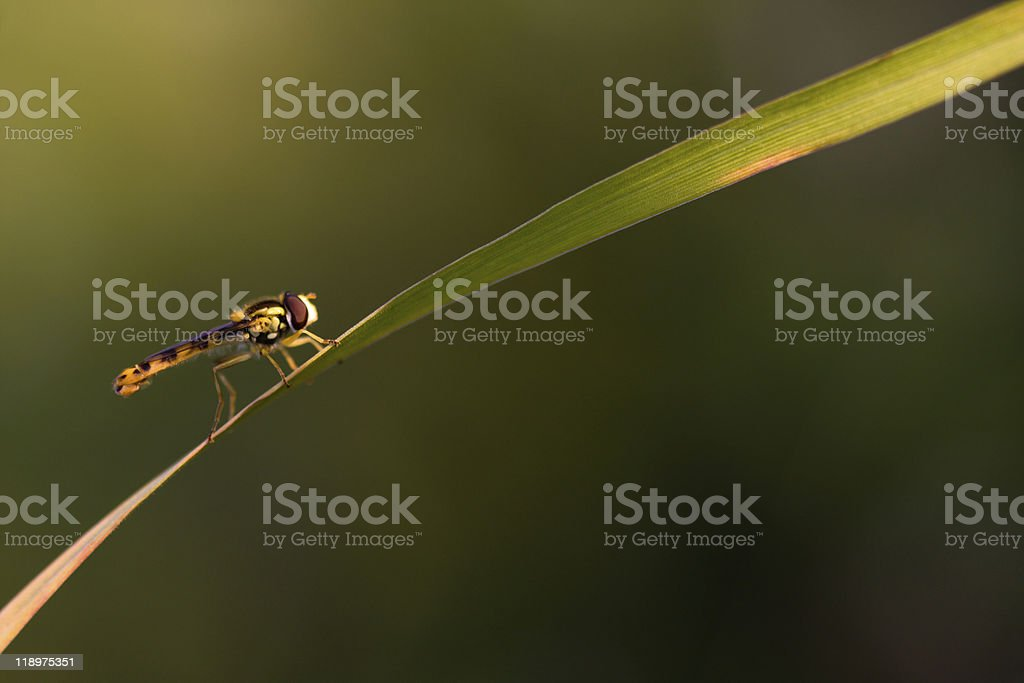 hover-fly stock photo