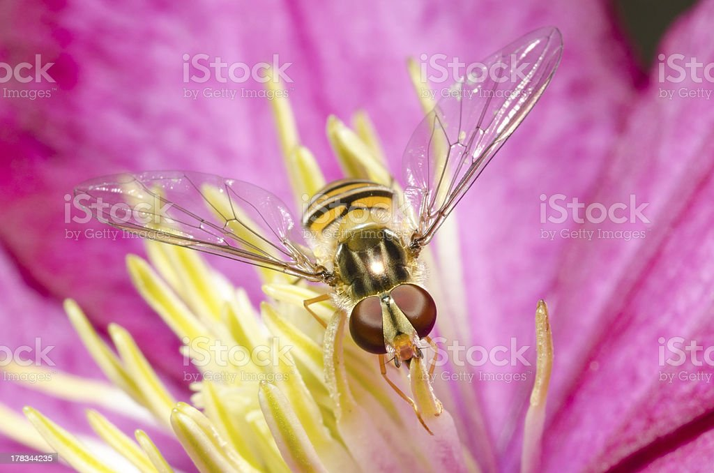 Hoverfly royalty-free stock photo