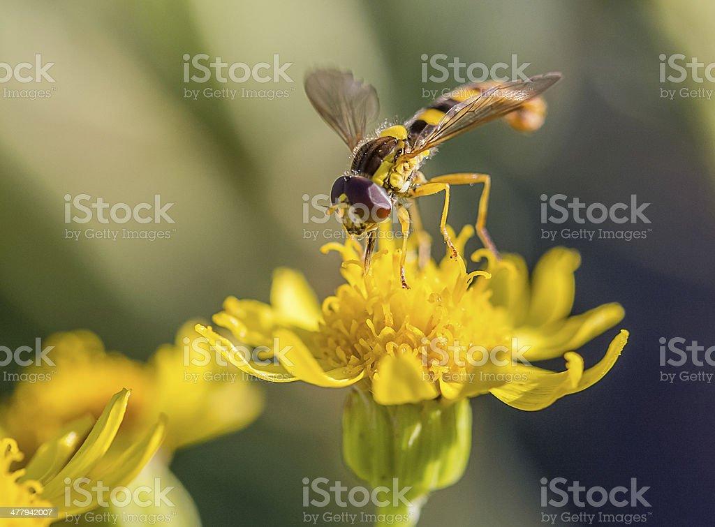 hoverfly royalty-free stock photo