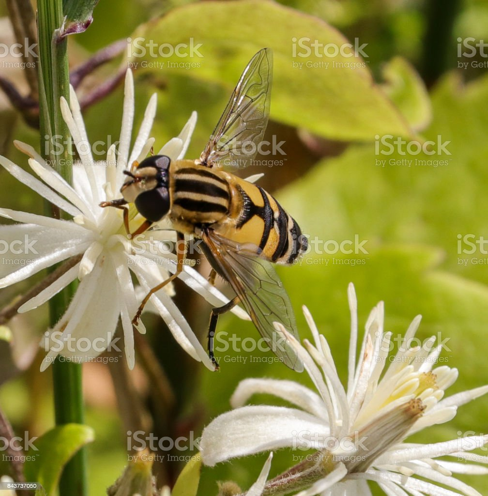 Hoverfly stock photo