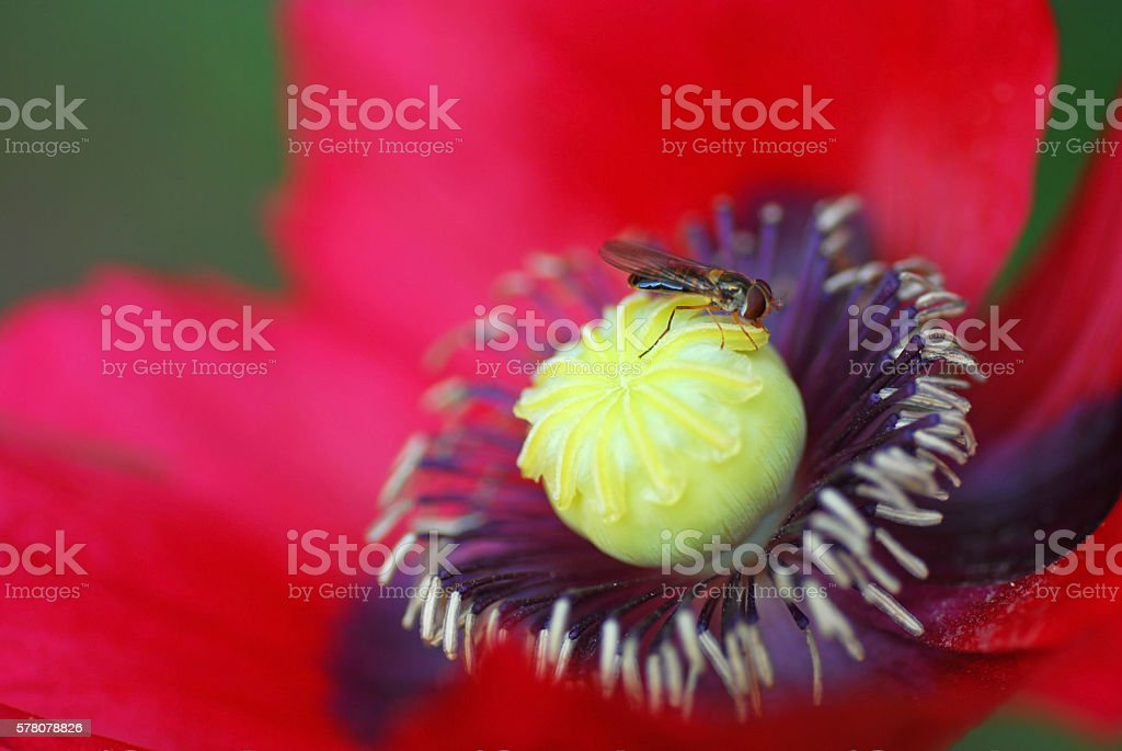 Hoverfly resting on a red Opium Poppy. stock photo