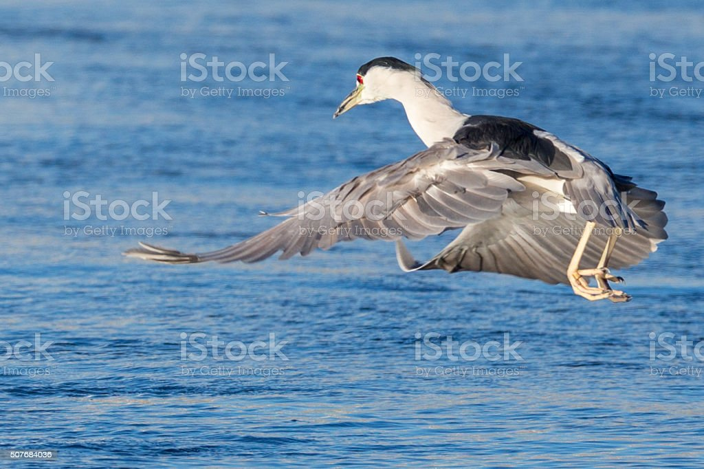 Hovering Black Crowned Night Heron stock photo