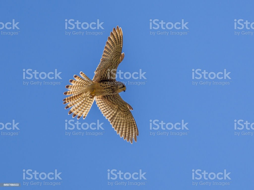 Hovering Kestrel stock photo